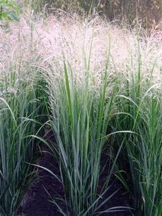 Panicum virgatum 'Northwind' so many different varieties Takes all sorts of conditions but needs full sun
