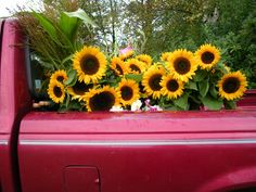 sunflowers in a red pick up truck