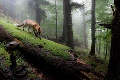 Credit: Klaus Echle/GDT Mammals runner-up: Fox in cloudy forest by Klaus Echle