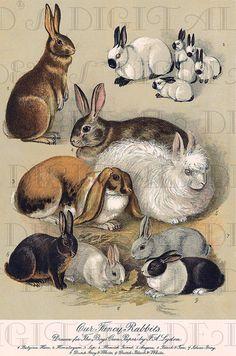 Fancy Type Bred RABBITS  Storybook Rabbit by DandDDigitalDelights