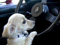 My dog driving her Corvette.