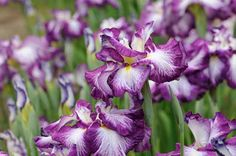 Slow-draining clay soil makes life difficult for many plants. Not to worry: these 10 plants for clay soil thrive in it. Japanese Iris- more tolerant than bearded Iris Flowers, Large Flowers, Beautiful Flowers, Purple Flowers, Cut Flowers, Beautiful Gardens, Leafy Plants, Cool Plants, Buy Plants