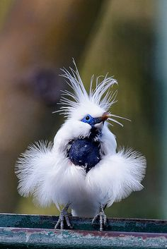 Bali Mynah- is restricted to the island of Bali in Indonesia, where it is the island's only endemic vertebrate species. Critically endangered. Photo by cm2852