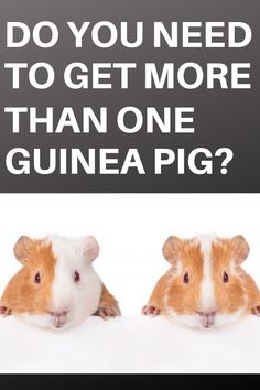 In this article, we will be discussing the advantages and disadvantages of keeping different numbers of guinea pigs in your home as pets. Pig Ideas, Emotional Support Animal, Do You Need, More Than One, Make It Work, Guinea Pigs, Numbers, Pets, Animals
