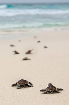 Watch a baby turtle release at Padre Island Seashore