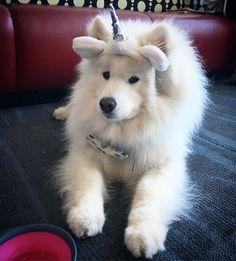 Samoyed Saturday for Photos) Video) Samoyed Dog photos White Fluffy Dog, Fluffy Dogs, White Dogs, Fluffy Animals, Animals And Pets, Baby Animals, Cute Animals, Cute Puppies, Dogs And Puppies