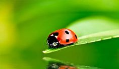The Lost Ladybug Project is a citizen science project to find out where ladybugs have gone.
