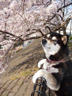 shiba inu admiring cherry blossoms