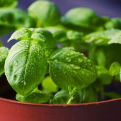 The ultimate guide to easily grow basil from seeds indoors or out in your garden. From starting with seed germination and grow lights, to a full grown basil plant. Tips, tricks, and ideas to grow your own fresh basil at home. Healthy Food Blogs, Healthy Recipes, Avocado Plant, Basil Plant, Starting Seeds Indoors, Uses For Coffee Grounds, Organic Fertilizer, Eating Raw, Medicinal Plants