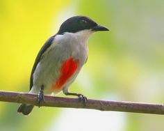 The Red-keeled Flowerpecker or Red-striped Flowerpecker (Dicaeum australe) is a species of bird in the Dicaeidae family. It is endemic to the Philippines. Its natural habitat is subtropical or tropical moist lowland forests.