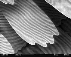 SEM_image_of_a_Peacock_wing,_slant_view_3.JPG (2560×2048)