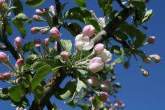 Apfelblüte in Schweden