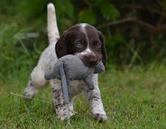 German Shorthaired Pointer Pup - Never too young to begin.