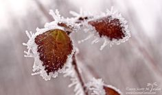 "Frosted - After a rare ""freezing fog"" event in Michigan, large ice crystals have formed on all of the plants, including autumn leaves that have not yet fallen."