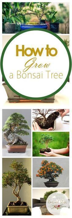 Gardening Indoor How to Grow a Bonsai Tree - Learn to grow bonsai trees with my simple (and easy) indoor gardening guide. Caring for bonsai trees is a tricky process, use this to help! Bonsai Plants, Bonsai Garden, Garden Trees, Garden Plants, Indoor Plants, House Plants, Hanging Plants, Hanging Gardens, Cactus Plants