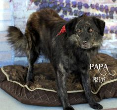 06/05/14 PAPA Australian Shepherd Mix • Adult • Male • Large Montgomery County Animal Shelter Conroe, TX