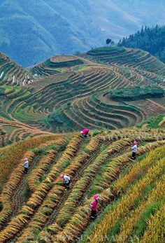 China, Longsheng, Zhuang women harvesting rice in the terraces