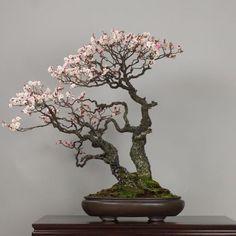 "prodeexotica: "" Omoi-no-mama (Japanese Apricot), photo by the Omiya Bonsai Art Museum. See: http://ift.tt/1TQqZej #bonsai #盆景 by bonsaiempire http://ift.tt/1X5EwS9 """