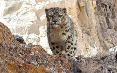 Can you spot the snow leopard caught by an Australian photographer? - Telegraph