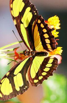 Delight In Flight: Beautiful Butterflies, Butterflies Dragonflies Moths, Butterflies Moths Dragonflies, Butterflies Insects, Butterflies Mariposas, Butterflys Moths, Butterfly Moth, Butterflies Quenalbertini