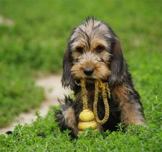 Cute Otterhound Puppy