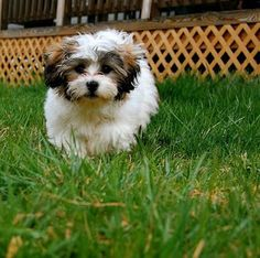 We cannot wait to have a Shichon puppy!!
