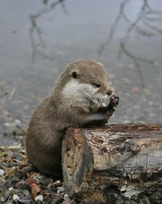 Asian Short Claw Otter