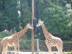 giraffe enrichment images   Giraffe Enrichment » Paignton Zoo Gallery
