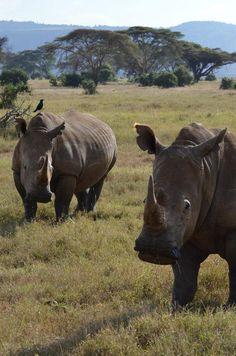 White rhinos, Kenya