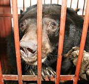 SPEAK OUT!  HELP STOP HENINOUS ANIMAL CRUELTY TO BEARS IN CHINA!  More than 10,000 bears are kept in tiny cages on bile farms in China. The bile, which is used in traditional medicine, is extracted using various painful, invasive techniques.The farmed bears are starved, dehydrated and suffer from multiple diseases and malignant tumours that ultimately kill them.  PLZ Sign & Share!