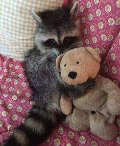 Baby raccoon loves his teddy Baby Raccoon, Racoon, Cute Little Animals, Cute Funny Animals, Nature Animals, Animals And Pets, Strange Animals, Tierischer Humor, Stuffed Animals