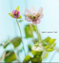 hepatica americana rosea