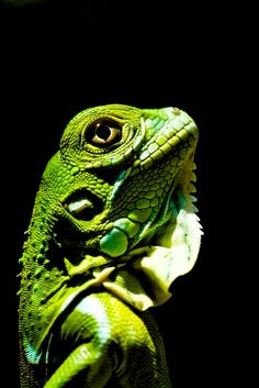 """Night Glow by Tyler MacDonald. """"This baby iguana almost looked to be glowing when I found him in a tree. In order to re capture what I saw I held him up in the direct sunlight to get the full power of his vibrant color and get harsh shadows across his face to make it look more dramatic. What really makes the image for me is the sunburst in his eye."""""""