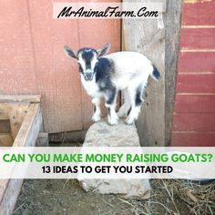 """People will sometimes ask, """"Can you make money raising goats?"""". You definitely can! In fact here are 13 ways you can make money raising goats."""