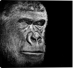 - Description - Why Accent Canvas? This exquisite Gorilla Portrait Animal Canvas Wall Art Print is created using quality fade resistant inks on a premium cotton canvas to ensure durability. This fine