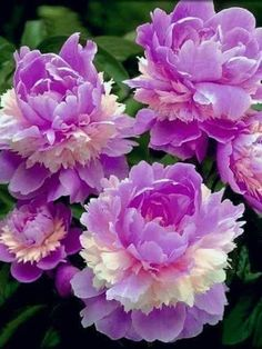 Peonies Garden, Good Morning Images, Rose, Flowers, Nature, Plants, Beautiful, Gud Morning Images, Pink