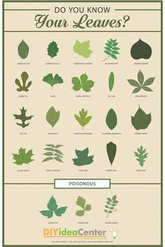 [Infographic] Leaf Identification Guide: Use this helpful, printable infographic to learn how to identify leaves!Leaf Identification Guide: Use this helpful, printable infographic to learn how to identify leaves! Leave In, Trees And Shrubs, Trees To Plant, Tree Leaves, Plant Leaves, Tree Leaf Identification, Logo Fleur, Eastern Redbud, Gravure Illustration