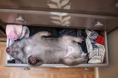 Kenny, the rescued wombat, picks the perfect place to nap