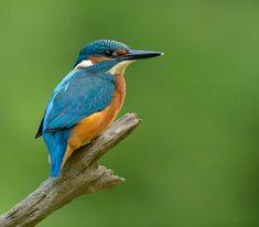 Common Kingfisher, Wildlife, Bird, Animals, Steel, Animales, Animaux, Birds, Kingfisher