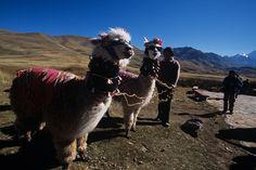 Alpaca, in Peru' il suo pelo viene utilizzato per i tessuti.