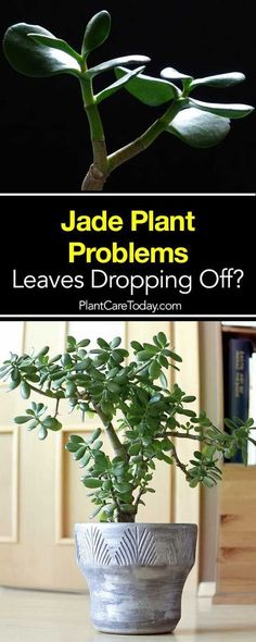 Succulent Plant Problems - Leaves Turning Yellow & Dropping Off? Jade Succulent Plant Problems - Leaves Turning Yellow & Dropping Off?,Jade Succulent Plant Problems - Leaves Turning Yellow & Dropping Off? Crassula Succulent, Jade Succulent, Cacti And Succulents, Planting Succulents, Planting Flowers, Jade Plant Pruning, Jade Plant Bonsai, Container Plants, Container Gardening