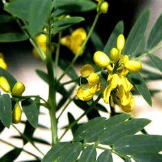 Chá de sene - Efeitos e contraindicações - Chá Benefícios