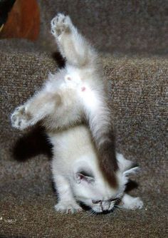 Never say you can't, cuz obviously EVERYTHING is possible. Even kitties doing gymnastics!