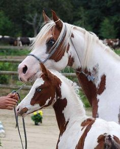 Part Arabian dam and foal. Love the chestnut and white with blue eyes. Sorry, I don't know their names or the breeders.