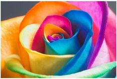 Rainbow Rare Rose Seeds Exotic Rose Flower Seeds by S4 Wallpaper, Flower Wallpaper, Wallpaper Awesome, Cheap Wallpaper, Summer Wallpaper, Beautiful Wallpaper, Computer Wallpaper, Colorful Wallpaper, Wallpaper Downloads
