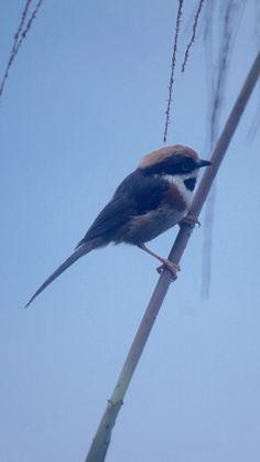 紅頭山雀 ㄒㄧㄊ