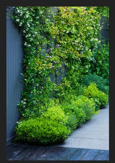 Climbing plants are versatile plants. When it comes to use climbing plants in the courtyards, there are several choices that homeowners can choose. Vertical Gardens, Small Gardens, Outdoor Gardens, Garden Shrubs, Shade Garden, Garden Path, Evergreen Garden, Evergreen Climbing Plants, Evergreen Climbers