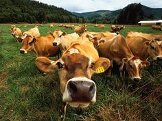 Tillamook, Oregon -  The Cows of Tillamook Cheese