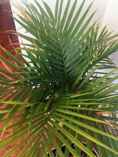 How to Care for an Indoor Majesty Palm — House Full of Summer - Coastal Home & Lifestyle - Modern Design Palm Plant Care, Palm Tree Care, Palm Tree Plant, House Plant Care, Trees To Plant, Indoor Palm Trees, Indoor Palms, Indoor Flowers, Majestic Palm Care