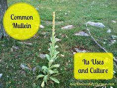 Verbascum thapsus Common Mullein or Great Mullein Common Mullein is found all over the United States, although it is not